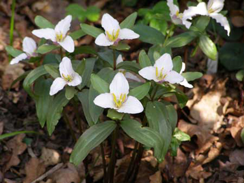 /best_gardens_images/best_march/04-trillium_pusillum.jpg