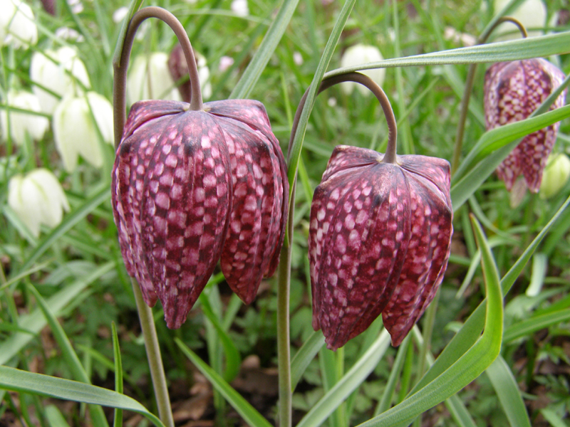 /best_gardens_images/best_march/07-fritillaria_meleagris.jpg