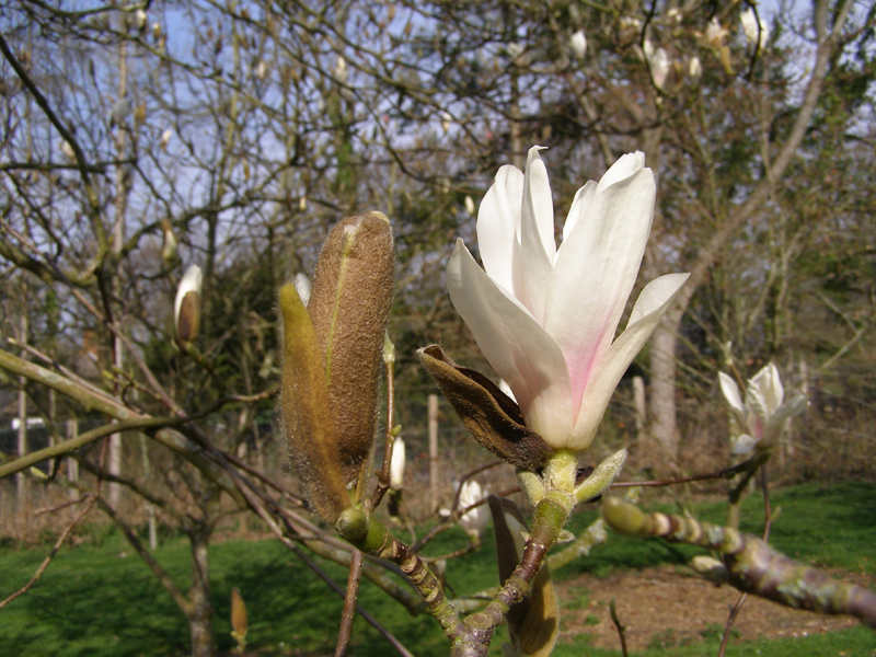 /best_gardens_images/best_march/10-magnolia_alba_superba.jpg